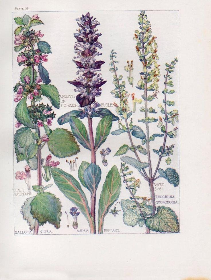 Bugle- Wild Flower Botanical Print by Isabel Adams - Antique Print