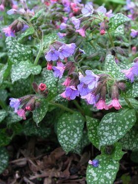 Bright pink flowers turn blue as they mature. HÖJD: 25 cm  BLOMNING: April-Maj  VÄXTPLATS: Halvskugga-skugga. Få krav men gärna fuktigt väldränerat och mullrikt. Inte för torrt.  UTSEENDE: Vitfläckiga blad. Rödvioletta trattlik blom.  EGENSKAPER: Ljuvlig vårblomning. Fin marktäckare i woodland och buskage. Gillas av fjärilar. HÄRDIGHET: B – Härdig PLANTERINGAVSTÅND: 35 cm