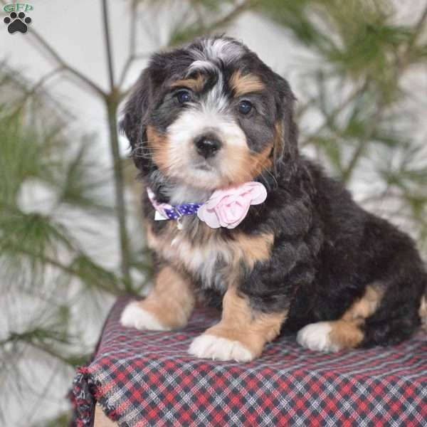 Lil Princess Mini Bernedoodle Puppy For Sale In Ohio
