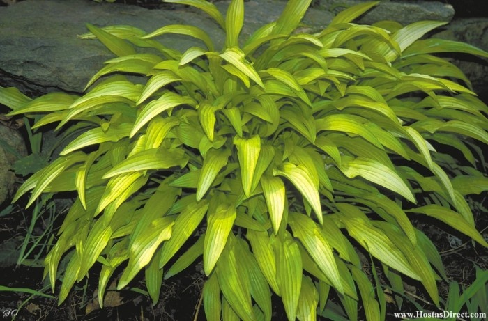 Mini Gold Plant : Best mini hosta images on pinterest gardens