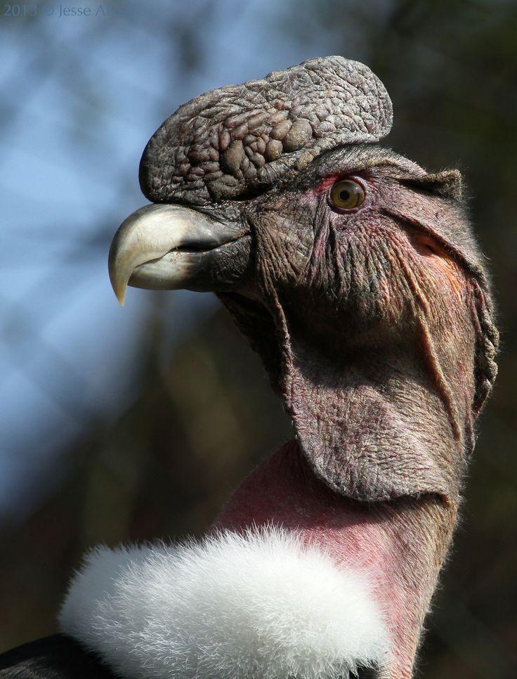 Andean Condor ~ Andenkondor ~ Vultur gryphus 2013 © Jesse Alveo