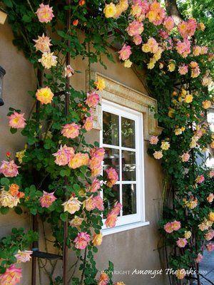 beautiful joseph's coat climbing roses