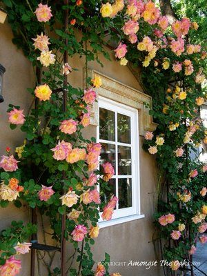 To prune Joseph's coat climbing roses: leave for two or three years, so as to grow and develop long, sturdy canes. Just keep them in bounds and remove dead or damaged stems the first years. Tie to support with stretchy floral tape. As the rose gets older select more canes to create structure and fill up fence or trellis. Remove other canes at the base of the plant. After you bend and tie the structural canes horizontally new lateral shoots will develop and sprout along the length.