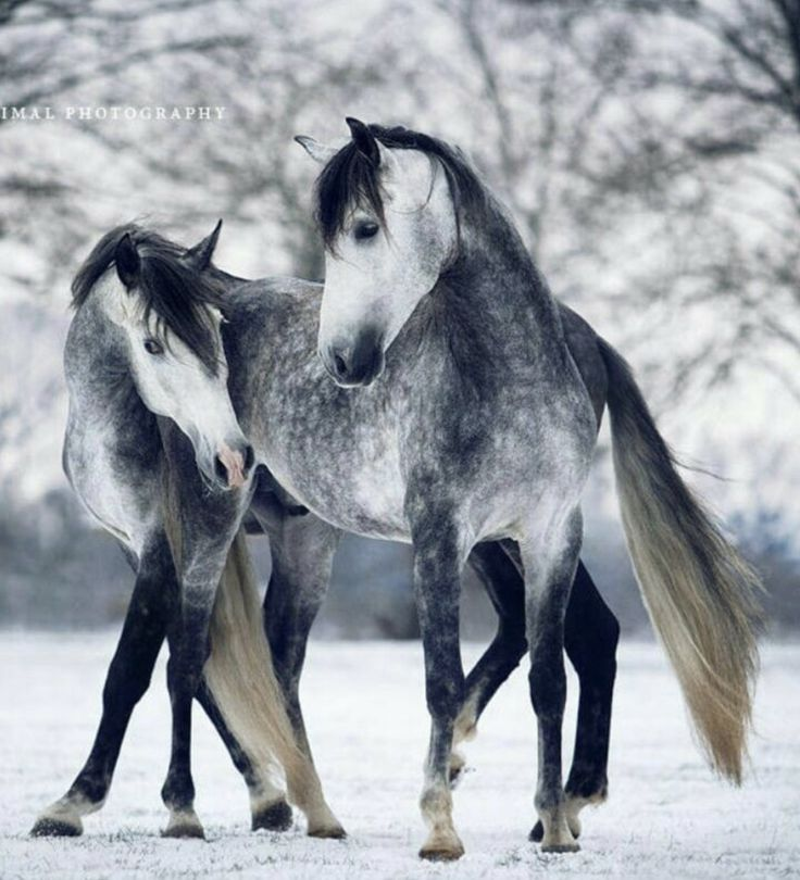 Two dappled grey horses in the snow