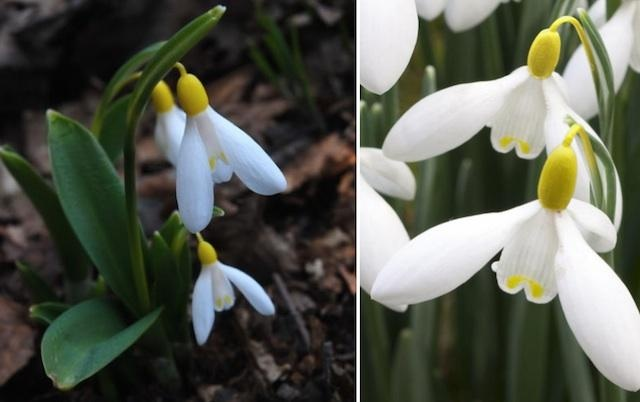 """a single bulb of the yellow-throated flower set off a frenzy on eBay the other day, attracting dozens of bidders before it sold to British seed company Thompson & Morgan for a record £725, catapulting tiny Galanthus """"Elizabeth Harrison"""" into the ranks of the world's most coveted flowers.: White Snowdrop, Snow Drop, Snowdrop W, Elizabeth Harrison, Throat Snowdrop, Galanthus Elizabeth, Expensive Snowdrop, Beautiful Snowdrop, Expen Snowdrop"""
