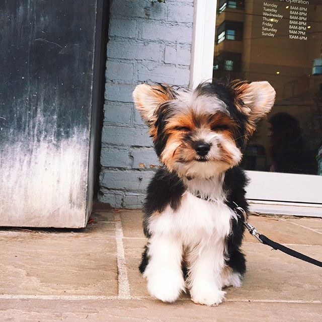 1626 best images about p u p p i e s on pinterest yorkie for Shar pei puppies for sale craigslist