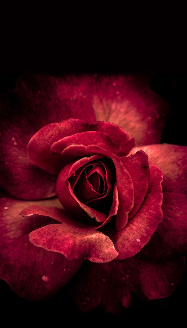 Deep Red Rose Flower Background Mawar Merah Latar Belakang Bunga Bunga