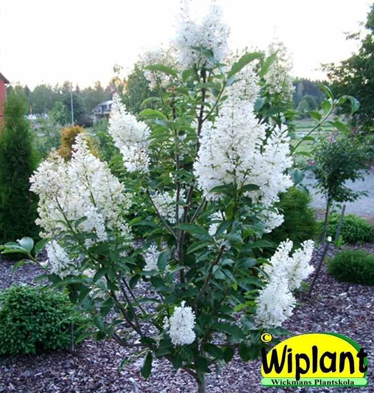 Syringa 'Holger' på stam. Rent vita blommor, fina blad. Höjd: 1,5-2 m.