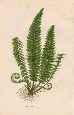 Antique Print of a Fern