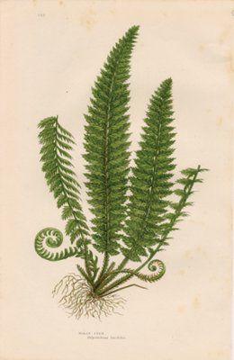Antique Print of a Fern