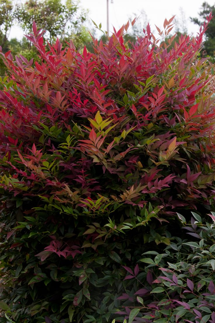 nandina_obsession This new and distinctive nandina is an upright, compact, dense grower with brilliant red new foliage, and richer color than ordinary nandinas. FEATURES  Bloom/Feature	Deep-red young foliage Plant Type	Shrubs Evergreen or Deciduous	Evergreen USDA Zones	6,7,8,9,10 Zone Detail	Hardy to -10 F Key Features	year-round interest, dwarf Use	accent, container, mass planting, slope Exposure	Full-sun to Part-shade Bloom Season	none Dimension	3-4' H x 3-4' W