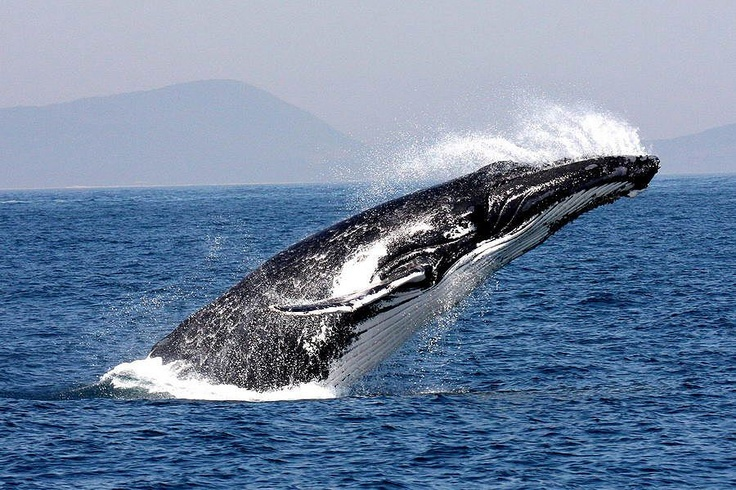 Whale breaching off Forster NSW