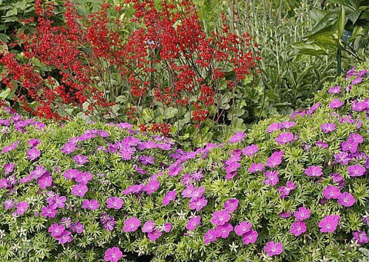 Premier plan : géranium vivace sanguineum 'Nyewood' - E. Petzold -  Rustica