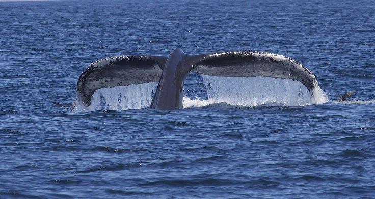 Видео: горбатый кит делает стойку наголове — National Geographic Россия