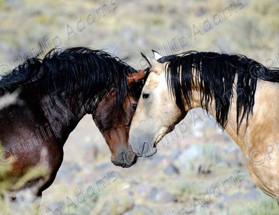 Nose-to-Nose: Two Mustang Stallions.