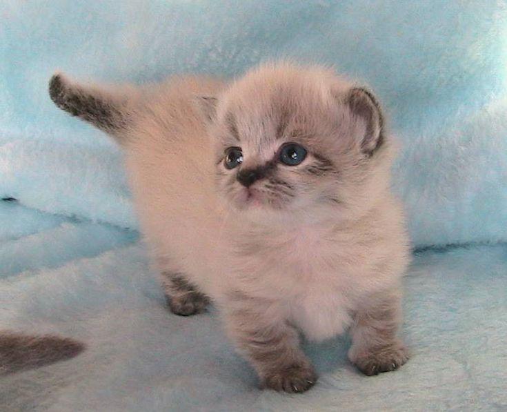 Persian + Munchkin cat = Napoleon...= a waddle kitten. I ...