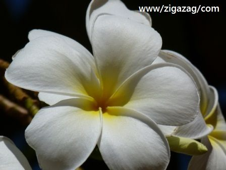 Frangipani by Jo Castro from Why Basking at a Bali style resort in Broome is good for you.