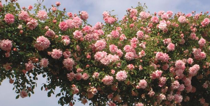 Rosa 'Paul Noel' - Lichtgeurende, bloeiherhalende klimroos - 500 cm