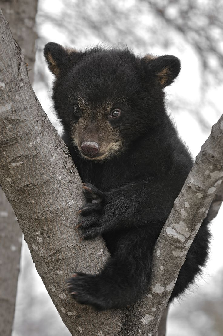 Cute little black bear in the snowy Smokies. Too cute! #wildlife