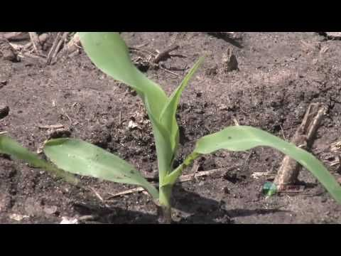Farm Basics-Corn Growth Stages #633 (From Ag PhD #633 5/23/10) - YouTube