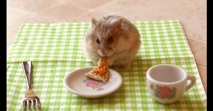 Chicken is a delightful Russian Dwarf hamster. His human decided it would be a lot of fun to make him a picnic and include a hamster-friendly slice of pizza.