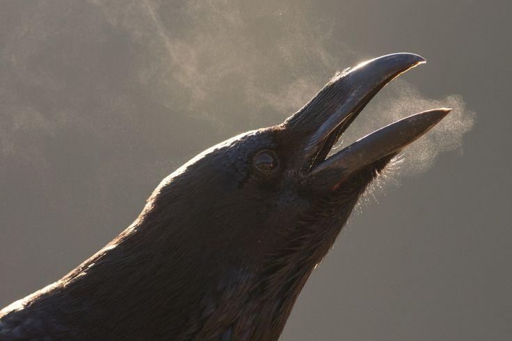 Raven's breath by Jan Pelcman - Photo 61998941 - 500px