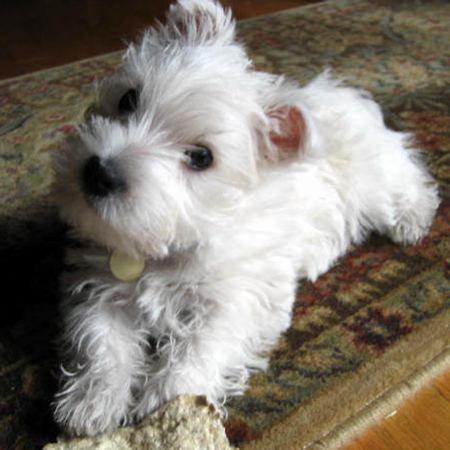 miniature Scottish terrier