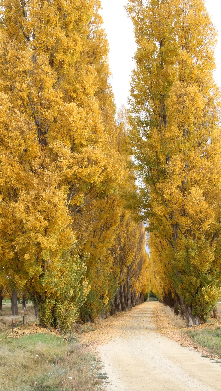 Fabulous yellows at Alexandra, NZ