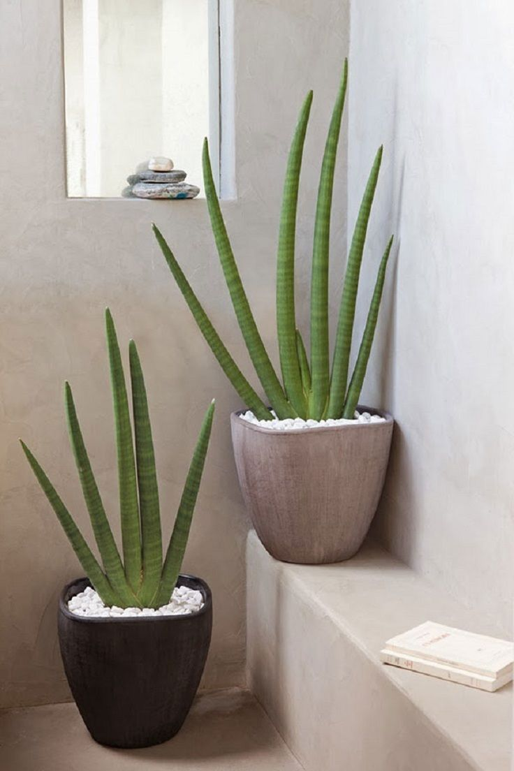 Aloe Vera is one of the healthiest plants you can easily grow. Its juice can be used for digestive issues, appetite, chronic constipation, and ulcerative colitis, while the sap inside the leaves helps heal burns, eczema, skin allergies, as well as cuts. Aloe is drought-resistant, and needs much sun exposure + moist soil.