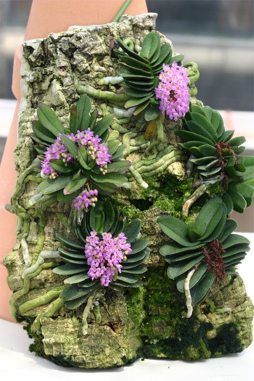 Miniature-orchid / Micro-orquidea: Schoenorchis fragrans - Mounted on cork