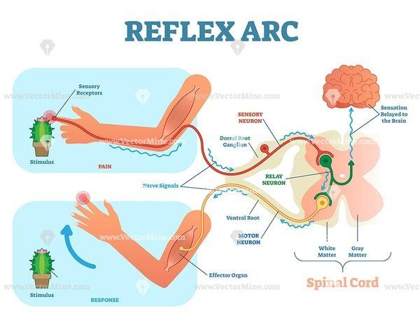 Spinal reflex arc anatomical vector illustration diagram | Motor neuron,  Neurons, Spinal cordPinterest