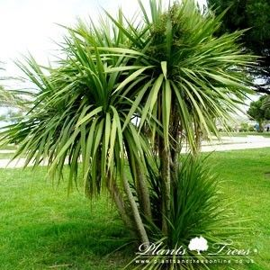 Cordyline australis, otherwise known as the Torbay Palm' or Cabbage Tree, is a distinctive palm like tree originating from New Zealand that is widely grown as an ornamental plant in milder regions of the UK..