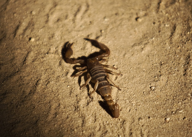 Burrowing Scorpion on night drive, by Leon Marais.