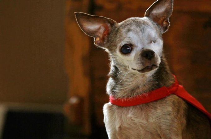 how long does a chihuahua live 1012 best images about chihuahua daily on pinterest 8046