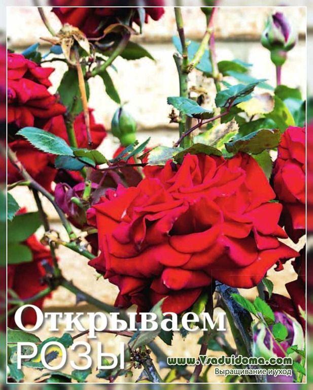 открываем розы - как и когда, весенняя обрезка