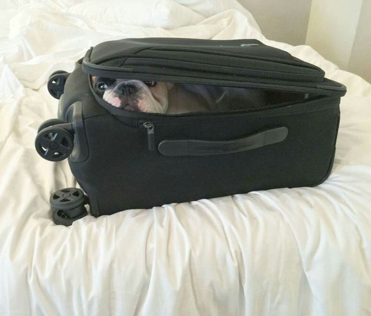 """Sshhh, I got this"", French Bulldog Stowaway in the Luggage."