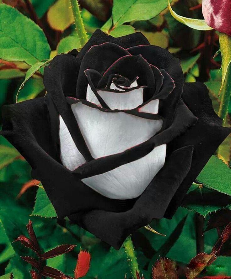 """La rosa negra crece en """"Halfatty"""", Turqía. Es una flor muy rara de hallar, pues tiene dos tonos"""