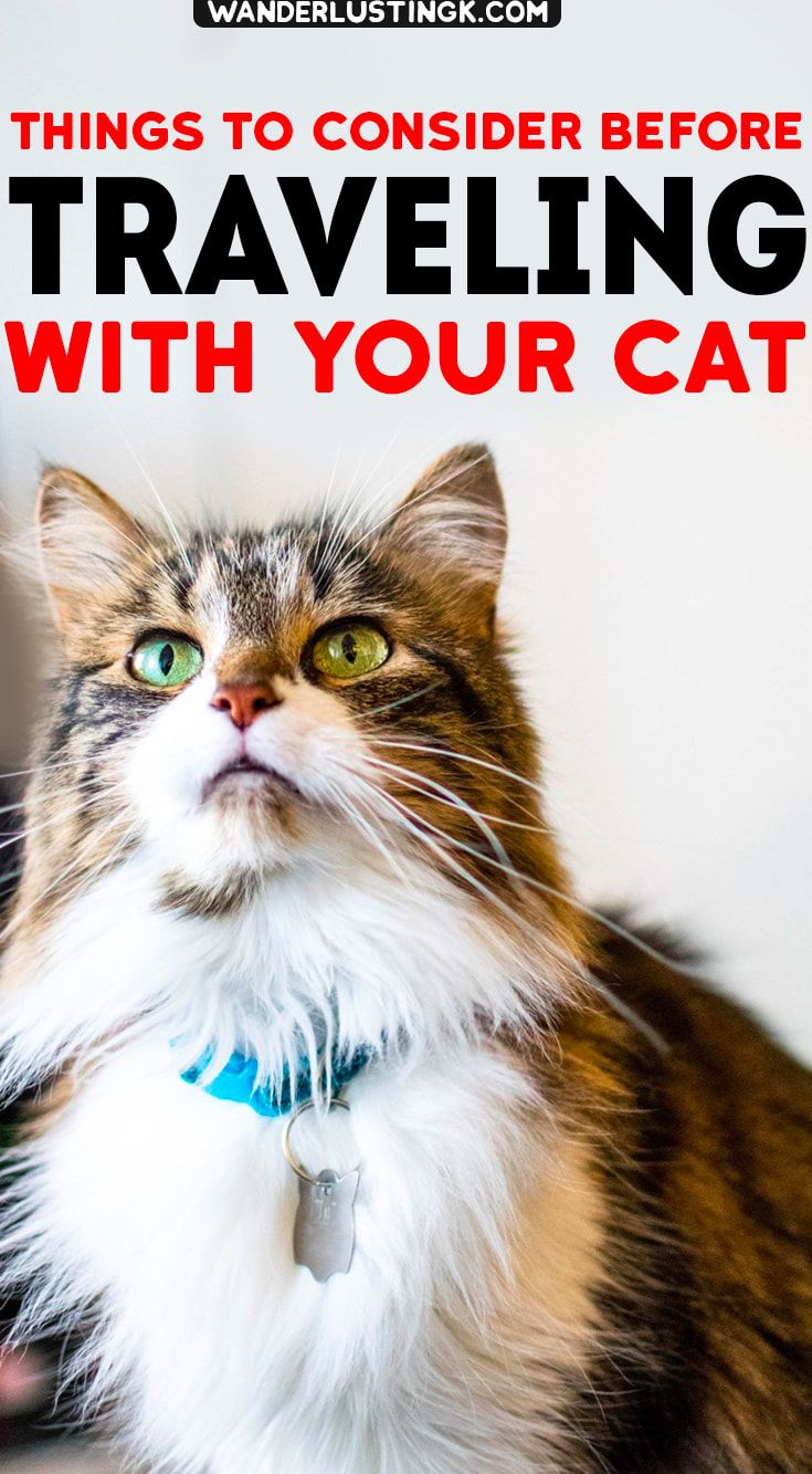 Tips For Traveling Overseas With A Cat Moving Abroad With A Cat Cat Travel Cats Why Do Cats Purr