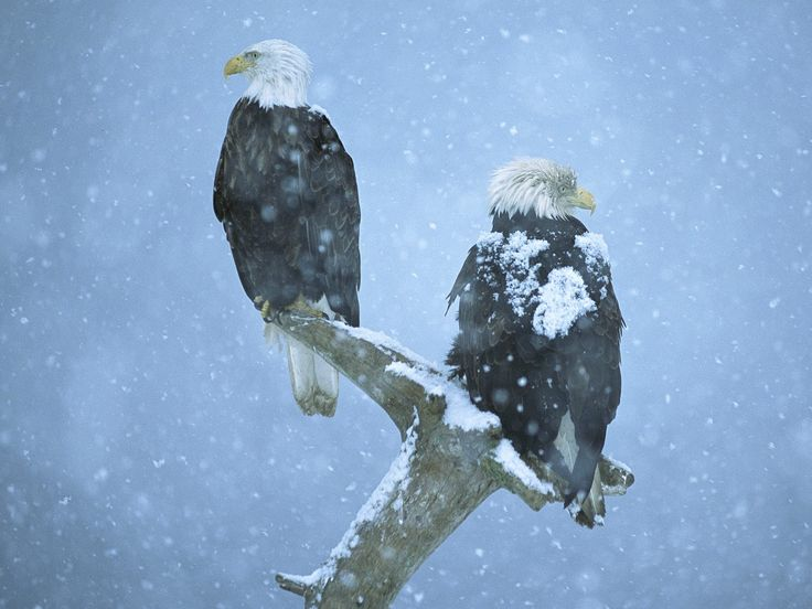 Eagles are one of the few birds that is adaptable to extreme weather conditions. They can be found living in either the hot deserts of Arizona or in the freezing cold climates of Canada.