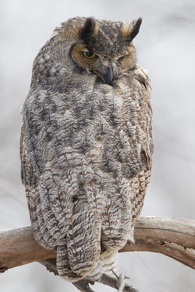 Great Horned Owl - by Michel Gauvin
