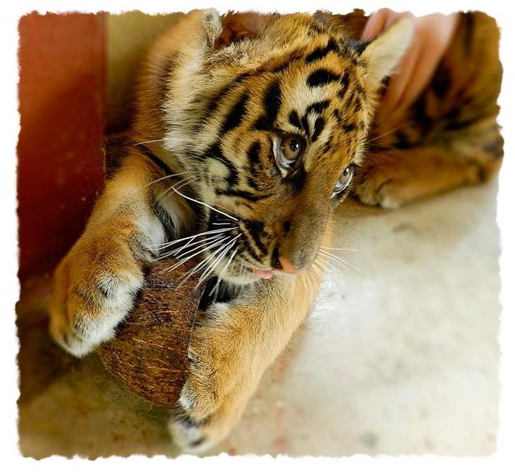 Five Dollar Traveller: BLOG - Tiger Temple vs Tiger Kingdom, Thailand