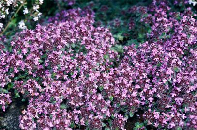 A fragrant and useful alternative to 'just grass' on a lawn- 'Pink Chintz' Thyme. Other options include Annie Hall', 'Snowdrift' and 'Minimus'