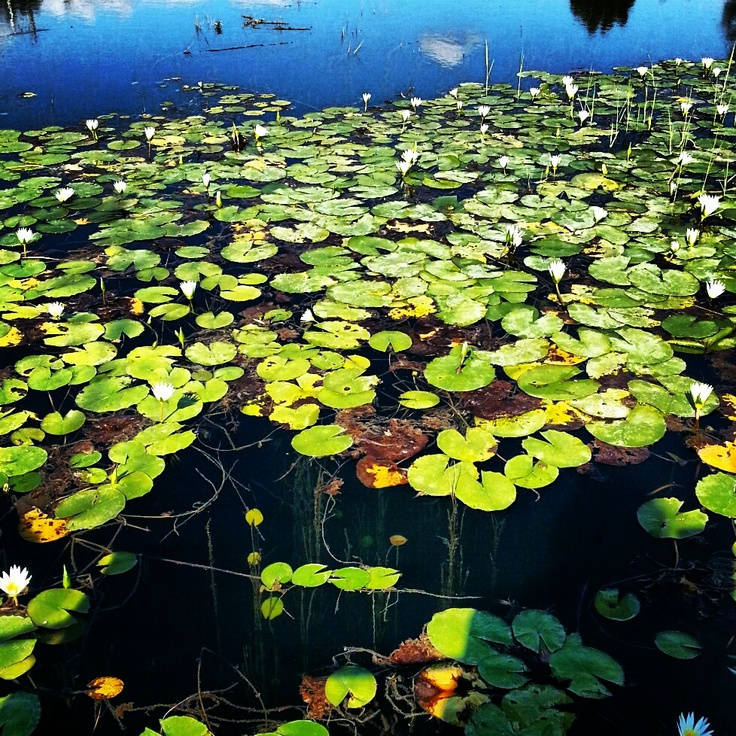 water lilies..Kırsehir/Turkey