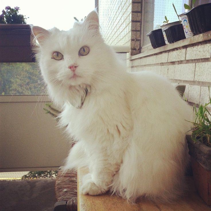 Isn't she just adorable? #Feles #WhiteCat #AngoraTurkish