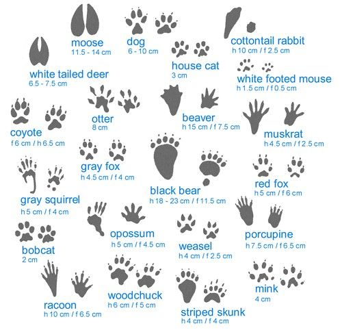 Animal tracks guide #infographic