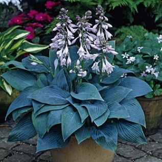 Hosta Halcyon, Hosta - Spring Perennials from Maerican Meadows. To accompany iris around sump
