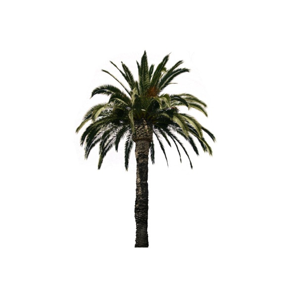 PSD Detail | Palm Tree | Official PSDs ❤ liked on Polyvore