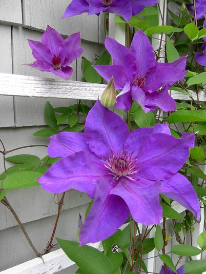 Plant on the fence between the neighbors and my house in the back.   Clematis. President