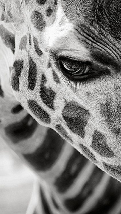 Giraffe ready for a night out? Look at that cute eyeliner! Pinterest ---> KaufmannsPuppy