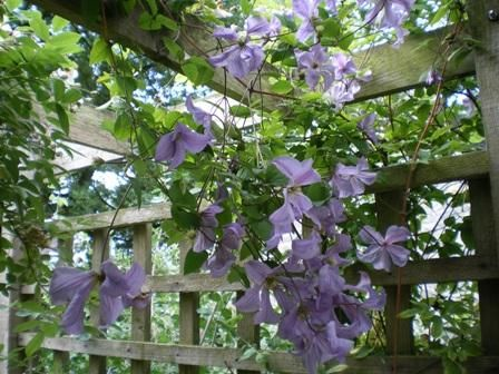 best clematis images on, Natural flower